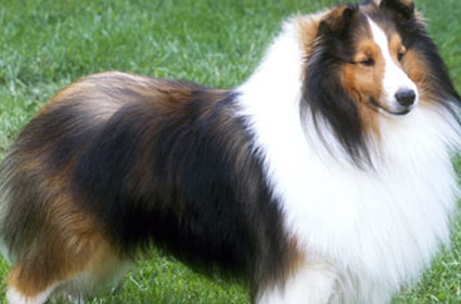 Shetland Sheepdogs aka Shelties Breed Profile