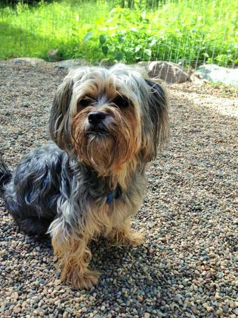 Wagging Tails Pet Resort's Tail Wagger Of The Month Shih Tzu Mix Sits Outside