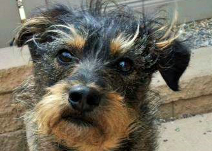 Lucy The Schnoodle Wagging Tails Pet Resort