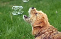 Dog Playing With Bubbles Closeup