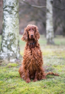 Beautiful Irish Setter dog looking in the park