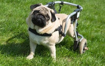 Handicapped Pug Dog With Wheels Thumbnail