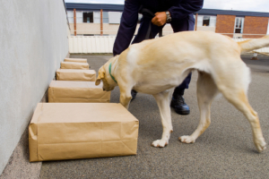 Police sniffer dog during a training exercise with sample packages