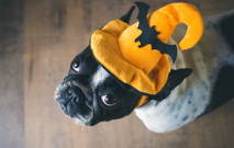 Portrait Of French Bulldog With Hat Halloween Thumbnail