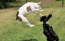 Dogs Playing Thumbnail