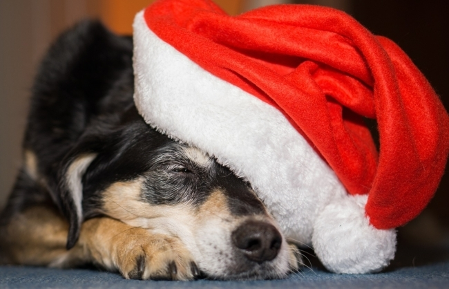 Sleepy dog in Santa hat