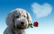 Dog With Rose Thumbnail
