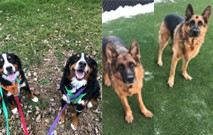 Breck, Denali, Sophie, And Noble - March Tail Wagger Thumbnail