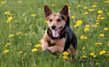 Dog In Dandelions Thumbnail