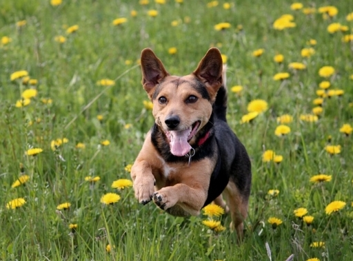 dog running through dandelions