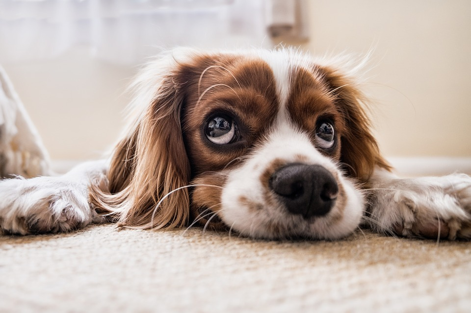 Spaniel laying on the floor